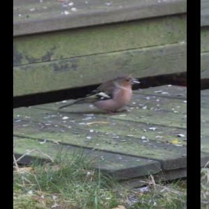 Två bilder på småfågel