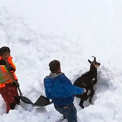 Österrikisk järnvägspersonal räddar en alpget som fastnat i en lavin.