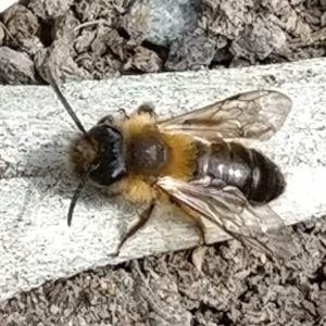 En insekt med mörk bakkropp, vingar och gul mellandel.