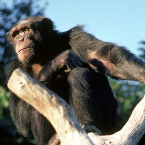simpanssi puussa.