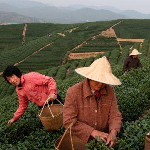 Longjing-teen satoa korjataan Hangzhoussa 2008.