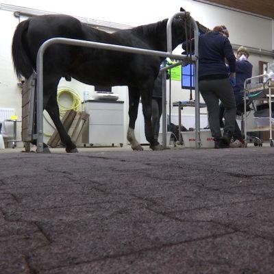 Eläinlääkäri Anne Niemi tarkistaa hevosen hampaita, kandidaatti Salla Kaattari seuraa vierestä.