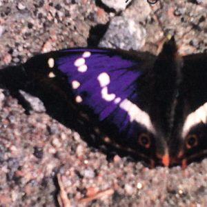 Hans granne fotograferade denna fjäril. Vilken art är det och varför har ena vingen en blå-lila fläck? undrar Hans och Lars-Olof.