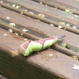 Vilken larv är det här? undrar Synne och Elina.