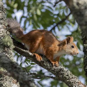 Orava pihlajan oksalla
