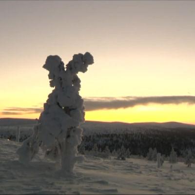 Snöigt fjällandksap