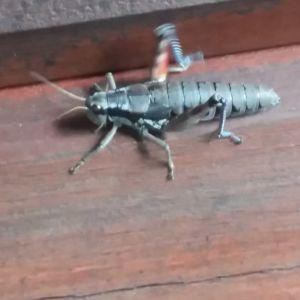 En gräshoppa på trägolv.