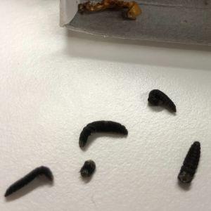 Fem svarta torkade larver på vit bordsskiva