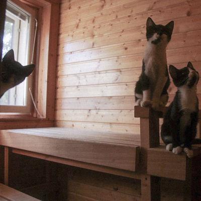 Kolme kissaa saunanlauteilla