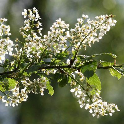 Tuomen kukkia