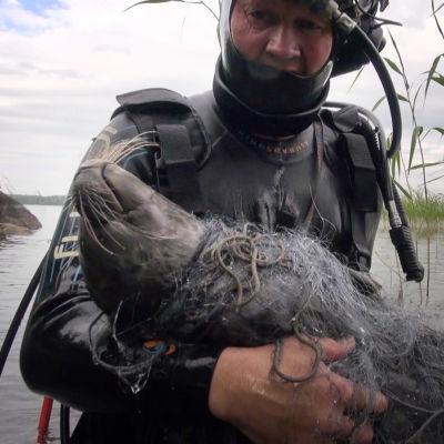 Juha Taskinen nostaa kuolleen norpan järvestä.