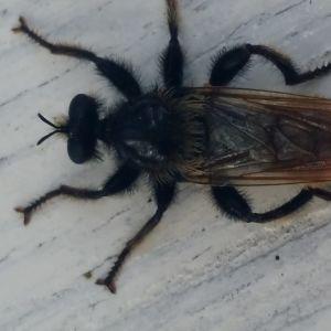 En mörkfärgad insekt med håriga ben.