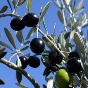 Oliiveja