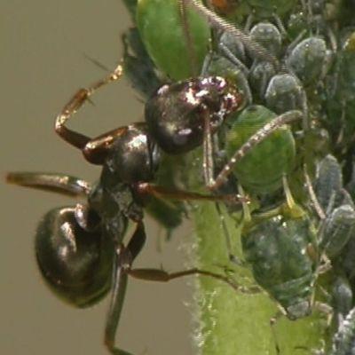 Muurahainen lypsää kirvoja