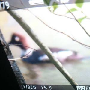 Sjöfågel fotograferad genom sökaren på annan kamera.