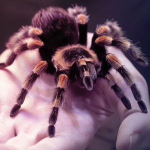 Ihmisen käden päällä on iso hämähäkki.