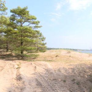 En sandstrand med tallar och hav.