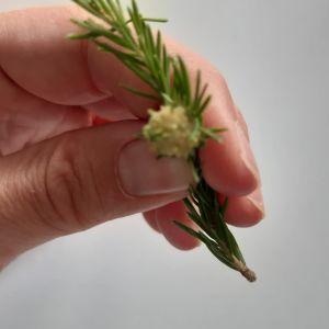 En grankvist med gul svampaktig utväxt.