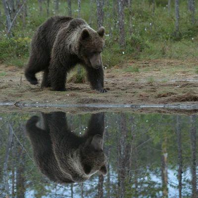 Karhu Kuhmossa