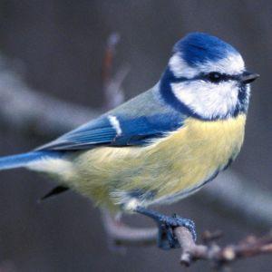 Hankolainen sinitiainen
