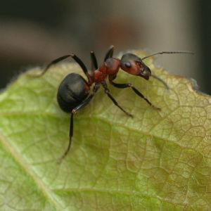 Muurahainen lehden päällä
