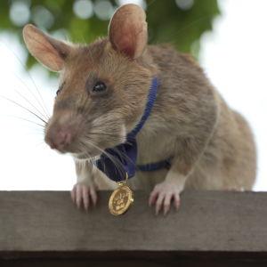 Hjälteråttan Magawa har fått medalj.