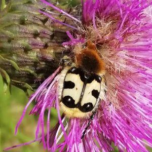 En insekt på lilafärgad blomma.