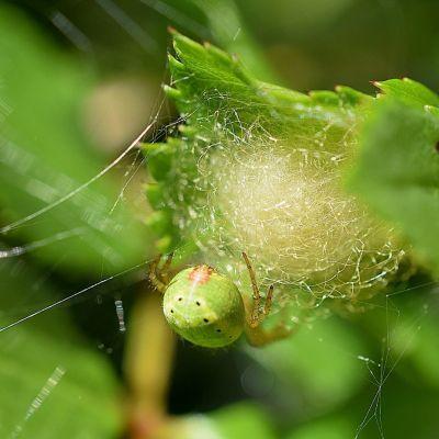 En ljusgrön spindel klättrar på en spunnen boll som sitter fast i blad.