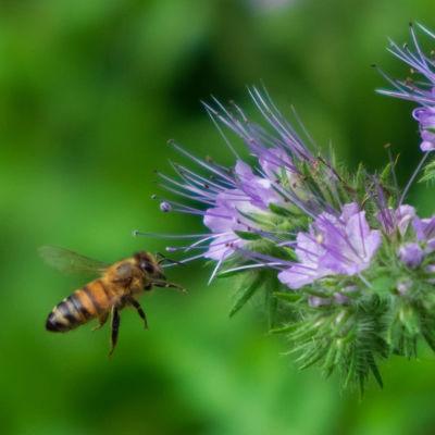 Mehiläinen hunajakukalla