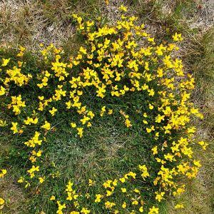 Gula blommor på en gräsmatta.