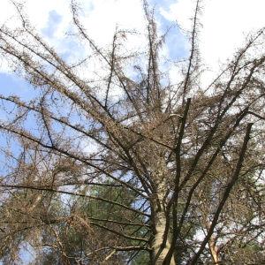 En torr trädkrona fotograferad nerifrån.