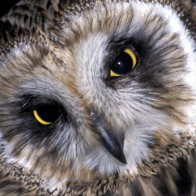 Pohjois-amerikkalainen pöllö