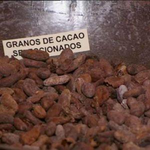 Kaakaopapuja laakeassa vadissa ja espanjankielinen kyltti