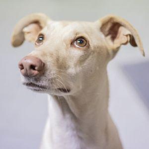 Spårhunden Kössi