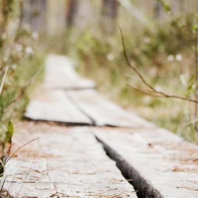 Pitkospuut lähikuvassa maan tasalla, puilla neulasia, reunoilla varpuja.