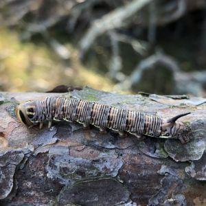 Sissel såg den här fina larven som var fint kamouflerad och hade en låtsasgren i ändan. Vad är det för larv?