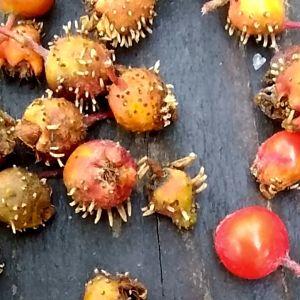 Tiotalls rönnbär på en träyta. De flesta rönnbär har tiotals taggar.
