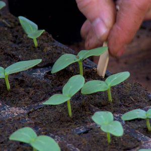 Med en glasspinne är det lätt att lyfta plantorna för omkrukning