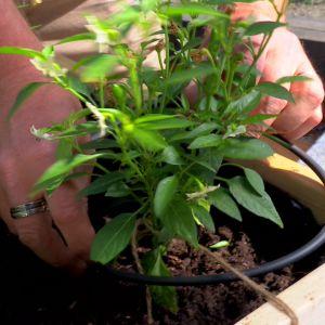 Droppbevattningen placeras jämnt bland plantorna