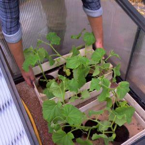 De här gurkplantorna ska odlas i höbalar