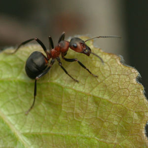 Muurahainen lehdellä