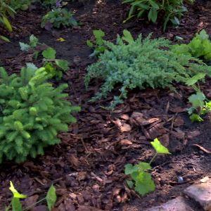 Nya barrväxter planterade på Strömsö.