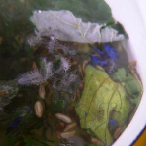 Häll kokande vatten över fröna och bladen.