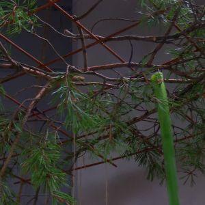 Galler med hängande amaryllisstjälkar.