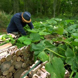 Owe Salmela skördar frilandsgurkor i nyckelhålsträdgården