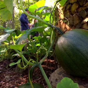 Jättepumpa i nyckelhålsträdgård