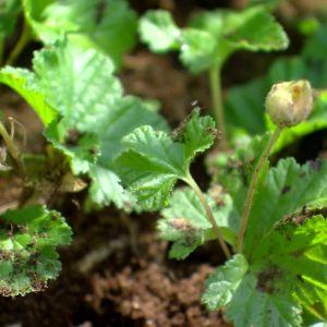 små bärplantor