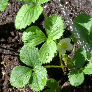 en jordjubbsplanta