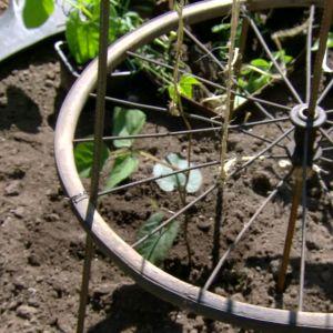 Traktordäck med spalje för bönor och ärter.