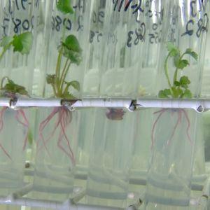 hallonplantor i provrör